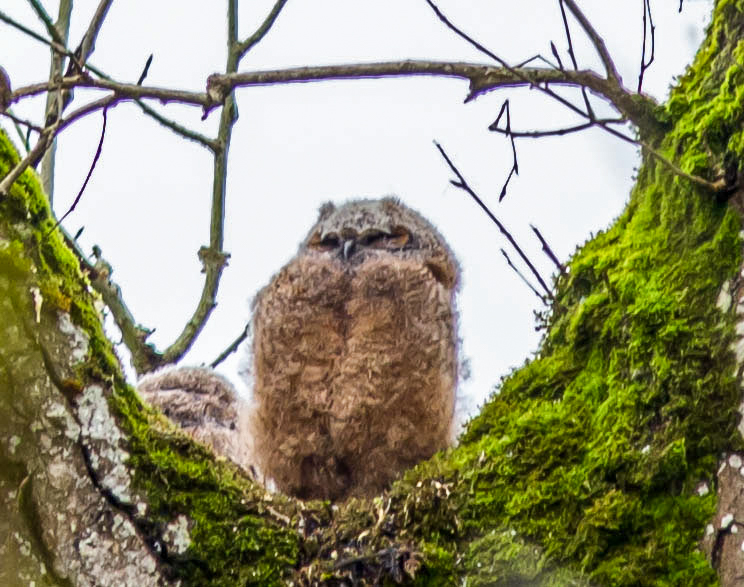 Baby Great Horned Owl 2-1