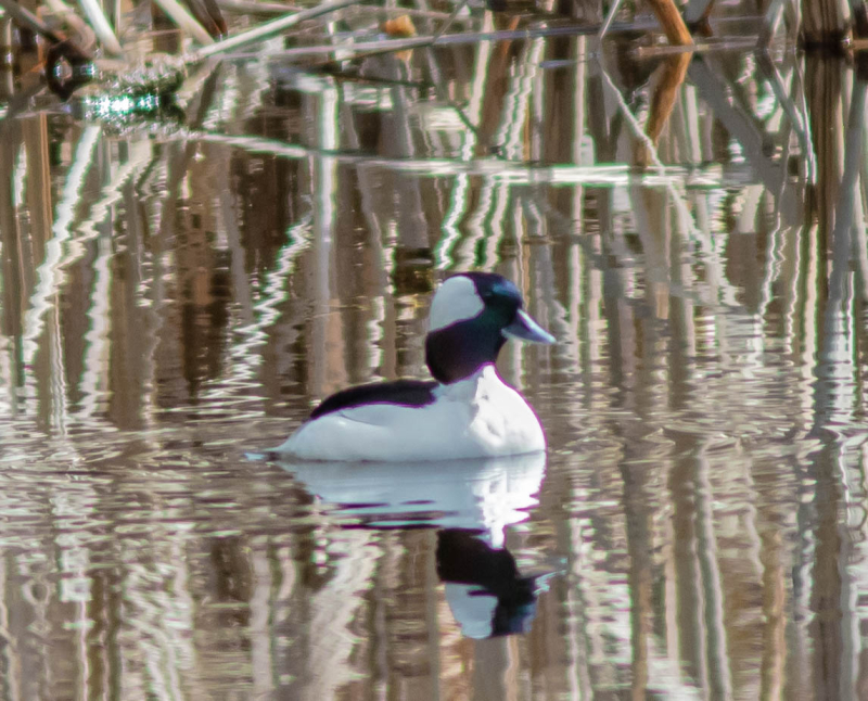 Bufflehead Male 1 (1 of 1)