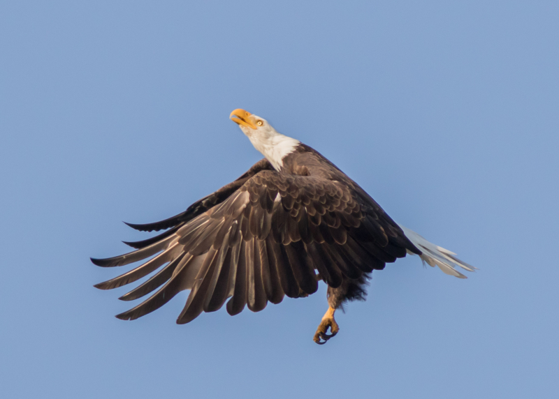 Eagle Under Attack 1 (1 of 1)
